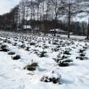 Blick zum Orthhof, Nordmanntannen, 5 Jahre alt, 2. Standjahr in der Kultur